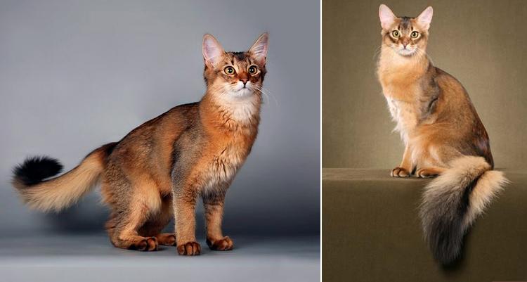 Сомалийские кошки