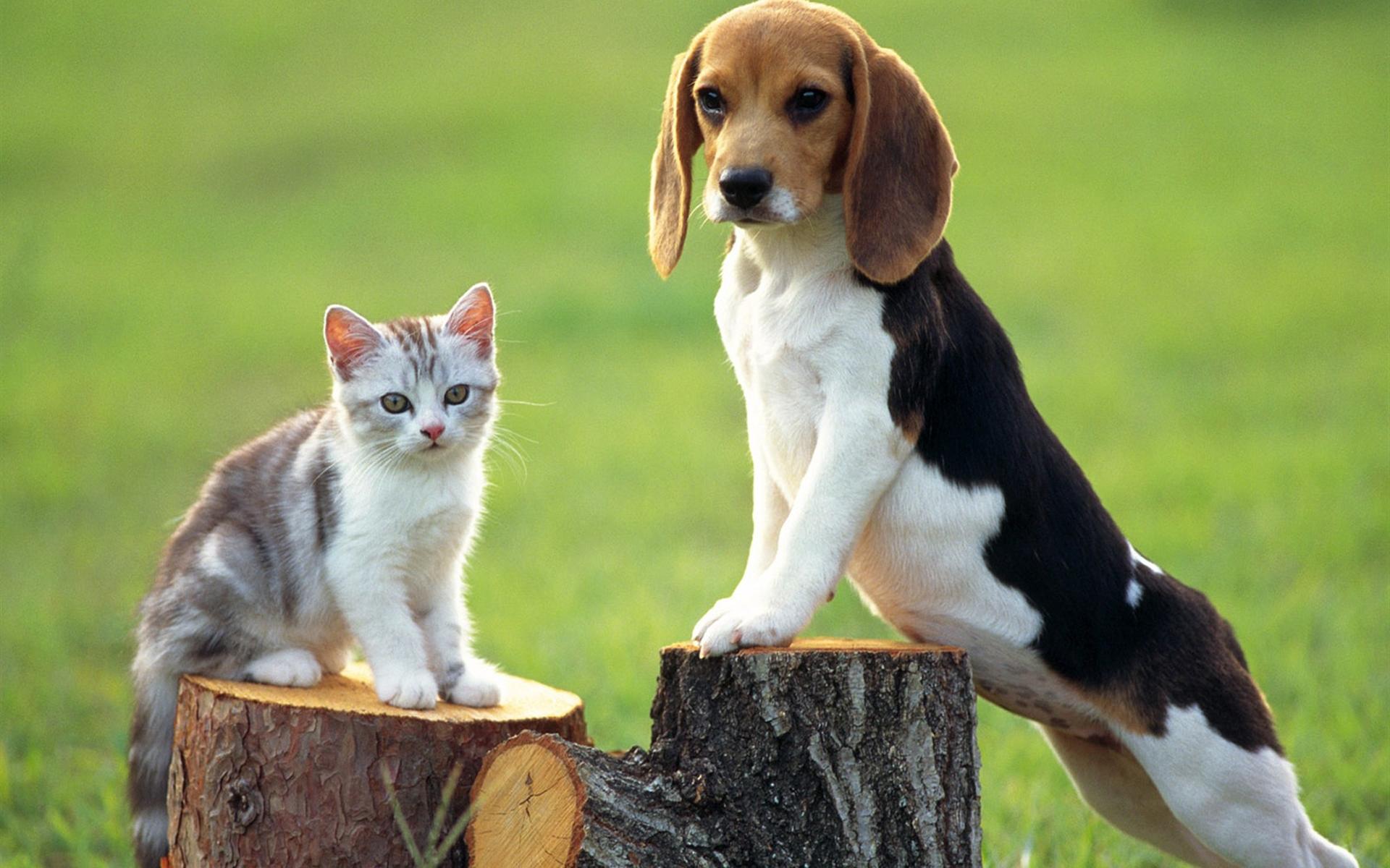 ремень коты с характером собаки порода европа клуб площадка