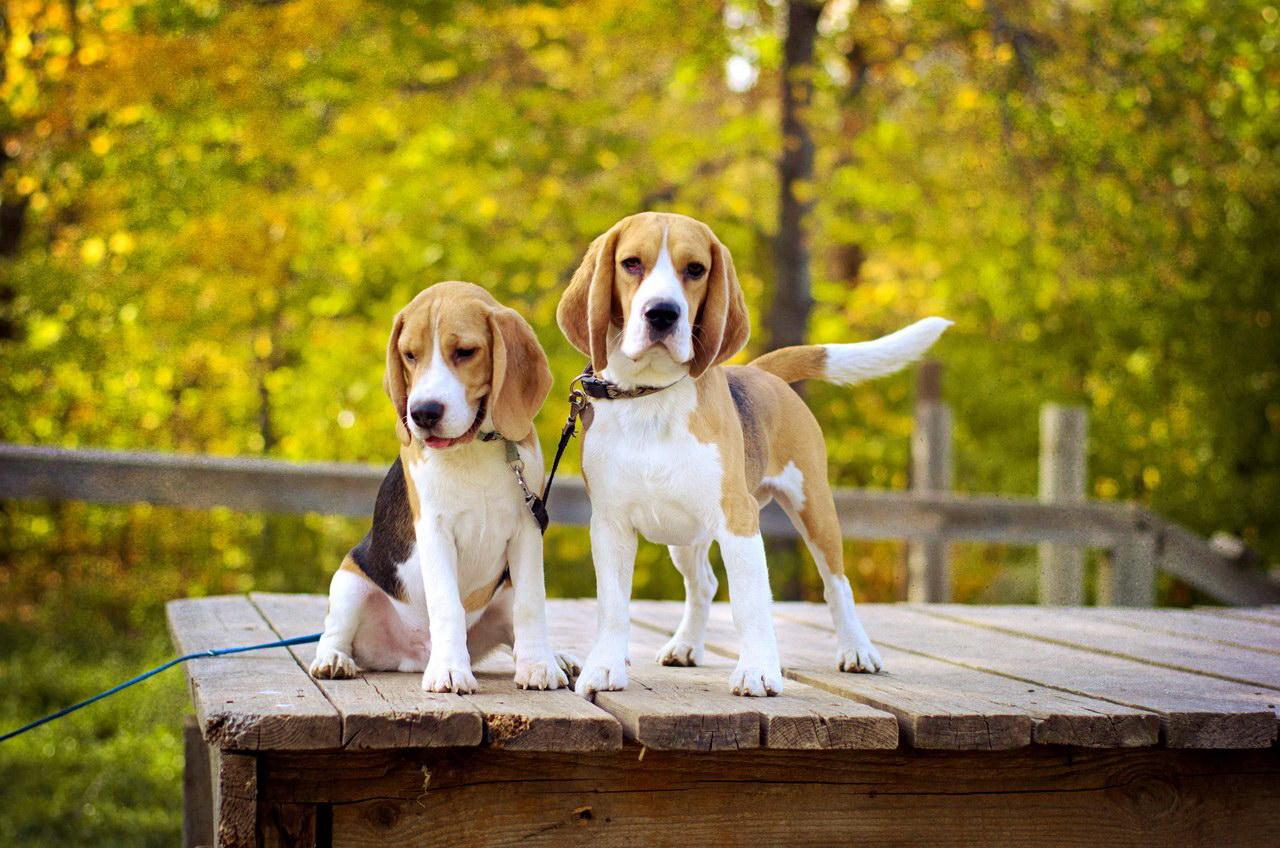 две собаки породы бигль