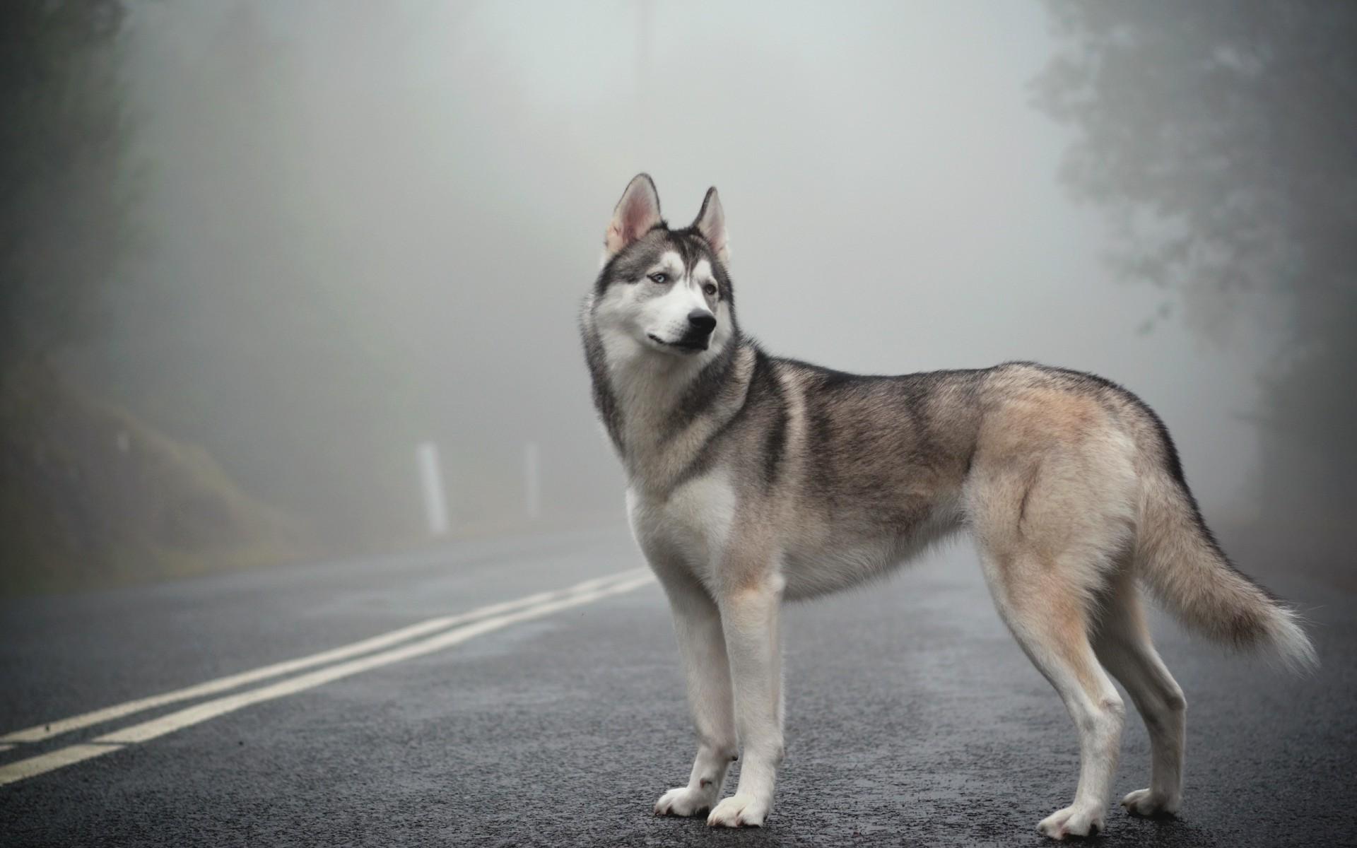 хаски в тумане