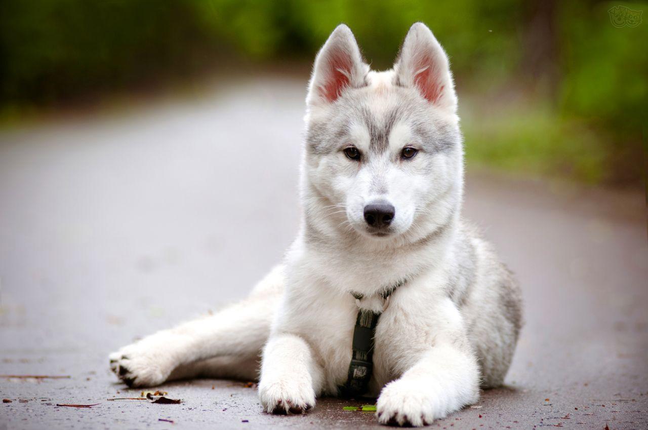 белая собака породы хаски
