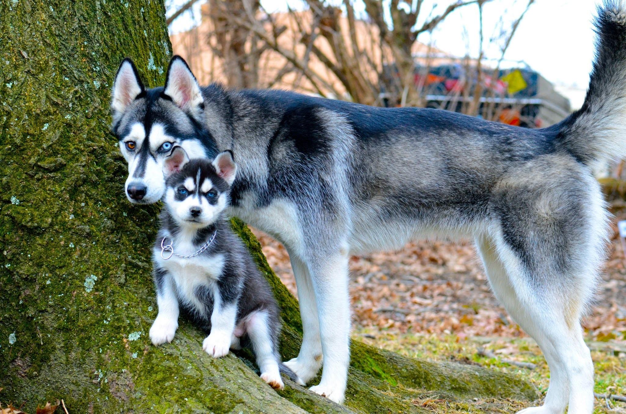 хаски мама и щенок