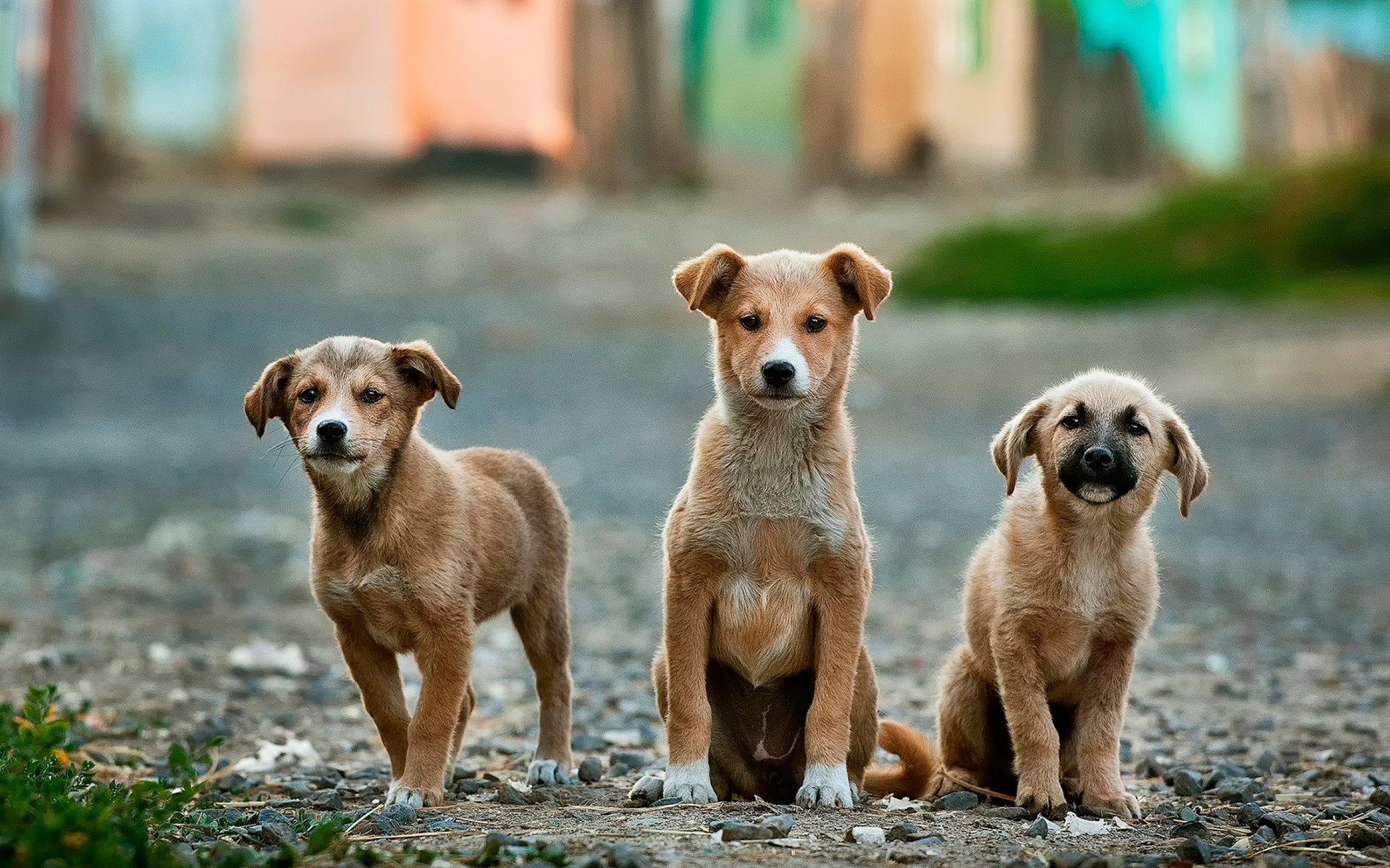 дворовые псы