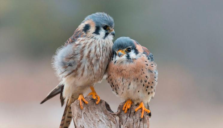 две влюбленные птички