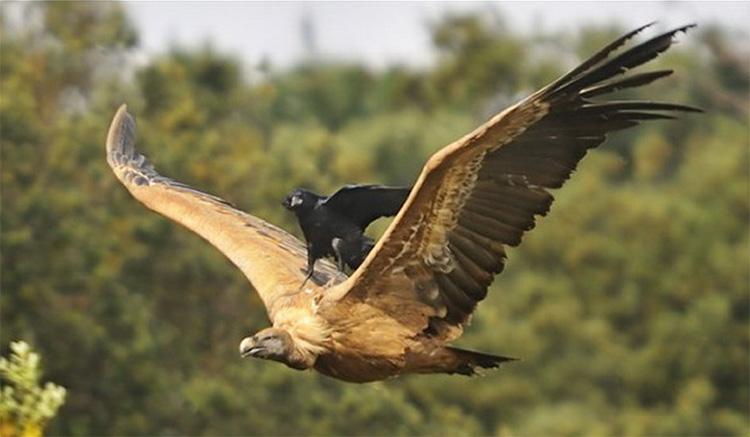 ворона и ястреб