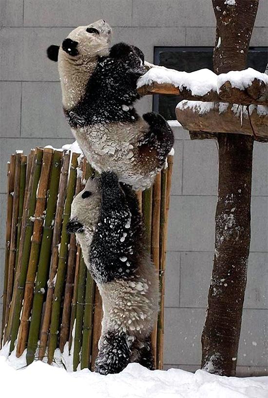 панда помогает панде залезть
