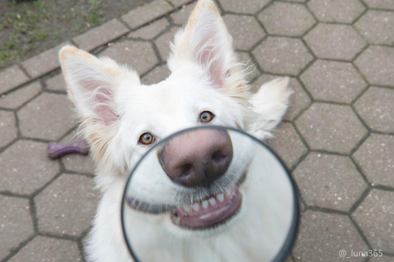 белая собака улыбается