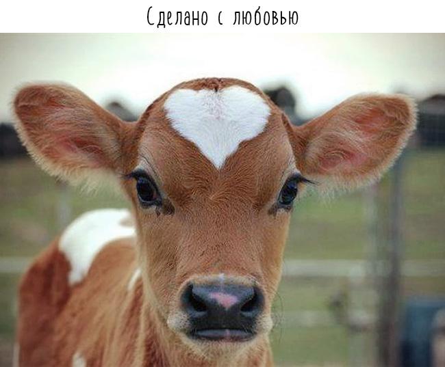 теленок и сердце на лбу