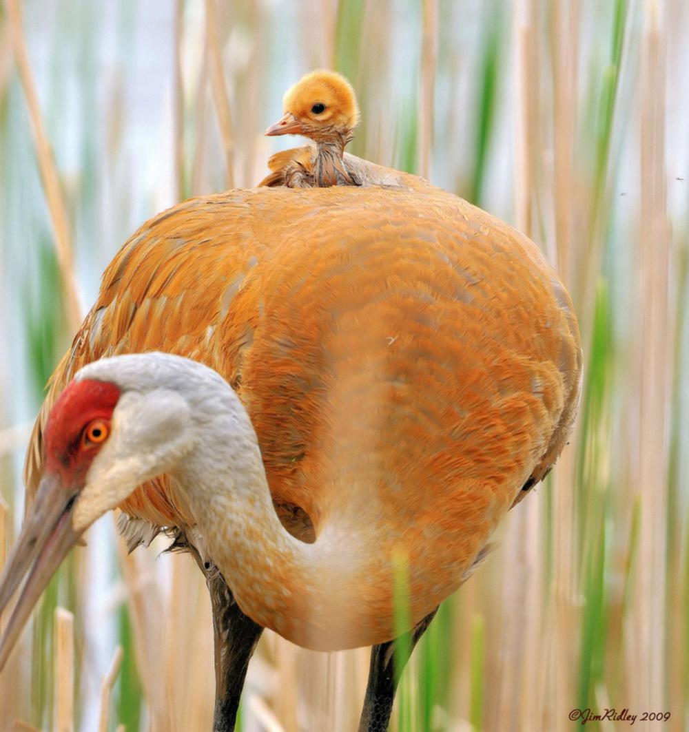птица мама и птенец на спине