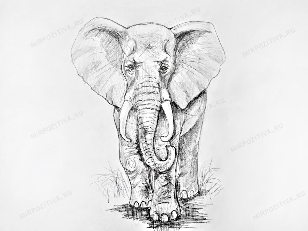 слон в анфас