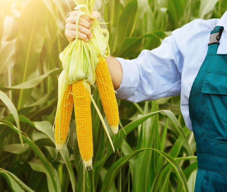 кукуруза в руках фермера